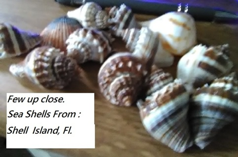 """"""" Sea Shell`s """" New From Shell Island, Florida"""