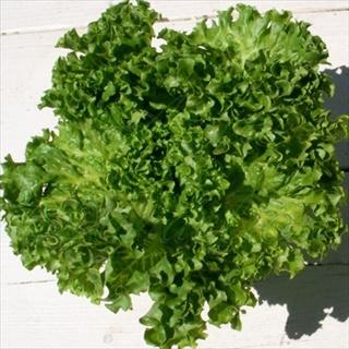 NIP grand rapids lettuce