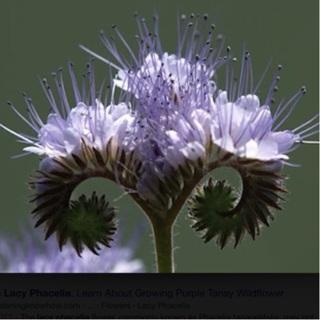 Lacy Phacelia 15 Seeds