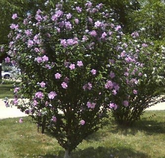 Rose of Sharon Seeds