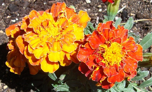 Marigold Mix Color Seeds.