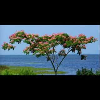 Mismosa tree seeds!!! (20+)