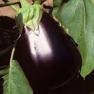 12 plus Black Beauty Eggplant seed