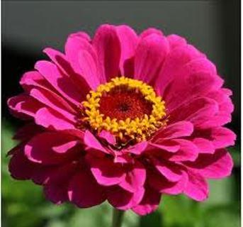 Pink Zinnias 20+ seeds - 2013 Season's Crop
