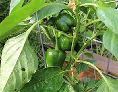 40+ organic green bell pepper seeds