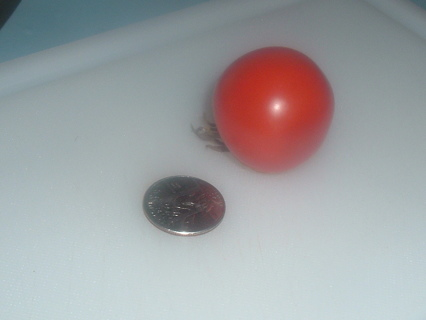 # 10 Rugose DWARF Red Cherry Tomato Seeds (20+) - Great for Containers / Growing Inside