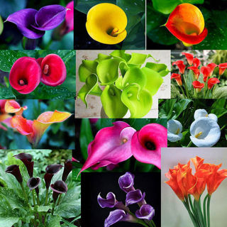 100 Assorted/Random Calla Lilly Seeds!