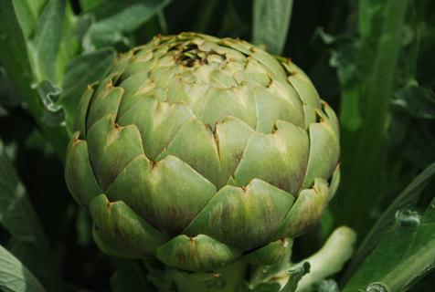 SEEDS - Green Globe Artichoke Seeds