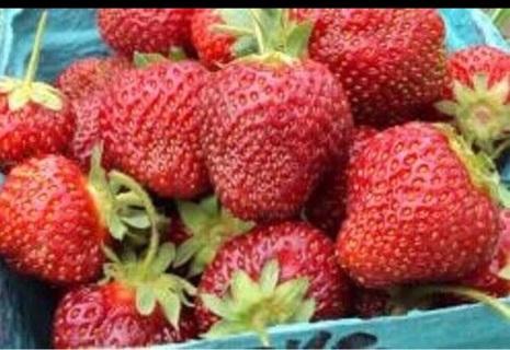 Honeoye Strawberry 25 Bare-Root Plants