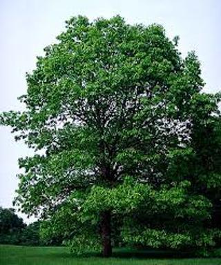 White Oak Tree Nuts