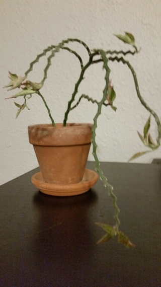 VARIEGATED DEVIL'S BACKBONE  (Pedilanthus tithymaloides) Rooted