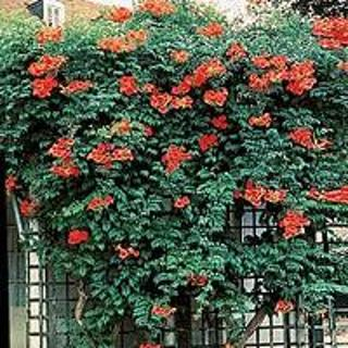 how to grow trumpet vine from seed