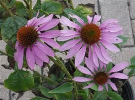 20  Brown eyed susan seeds  the purple variety