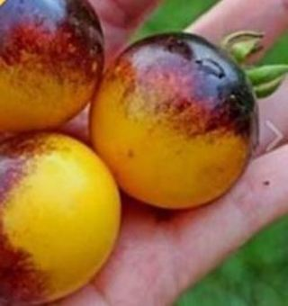 Unusual tomato seed mixture-10 seeds