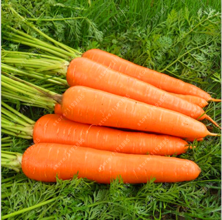 200pcs/bag carrot seeds vegetables fruit Five inches ginseng carrot for home garden