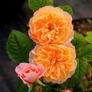 100PCS Climbing Rose Seeds Rosa Multiflora Perennial Fragrant Flower New