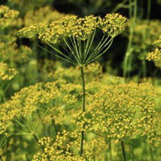 Lovely Dill---Looking to Pickle this year?