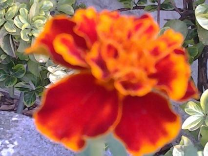Marigold 20 +seeds