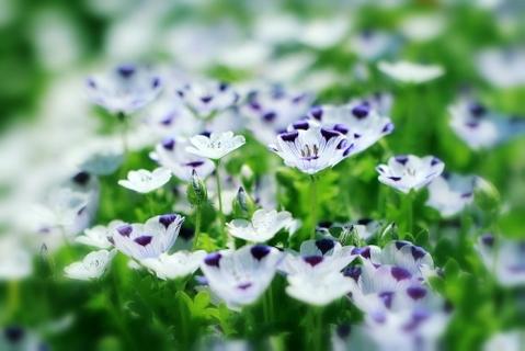 Five Spot - Nemophila maculata  - 20 Seeds