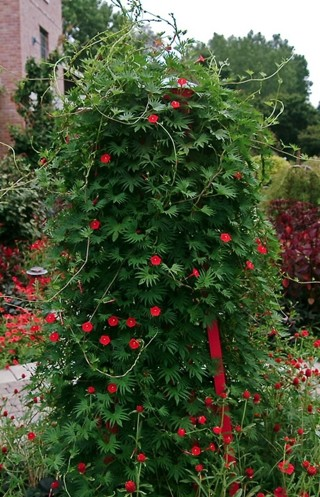 Red cypress vine. 10 seeds