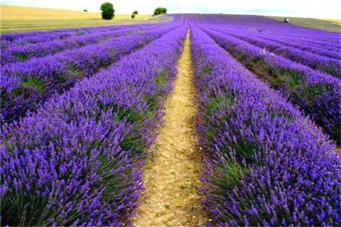 100pcs Italian lavender flower Heirloom Charming Fragrant flower