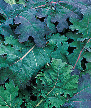Red Russian Kale-15 seeds