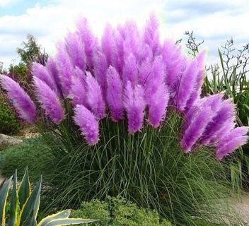1200 pcs Pampas Grass Seeds Cortaderia selloana flower seeds