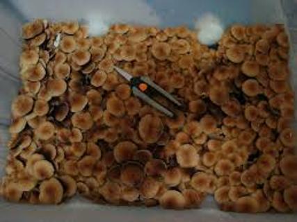 Free: Mushroom Growing Kit (High Yield Monotub) - Other Gardening