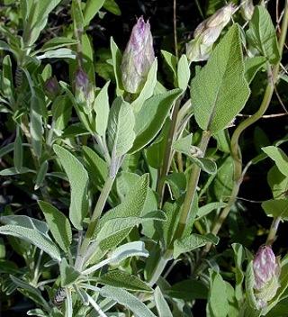12 plus Garden Sage seed...