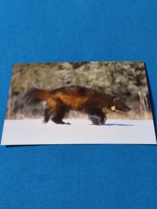 Denali National Park Wildlife Postcard - Wolverine