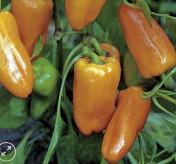 Organic Peach Habanero 5 seeds