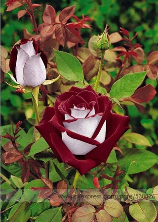 Fresh Exotic Blood Red and White Rose Flower Seeds, Professional Pack, 50 Seeds / Pack