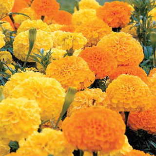 MARIGOLD FLOWER SEED PACKET