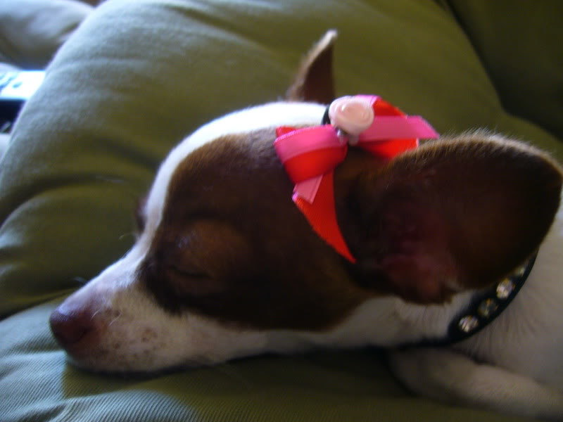 Free How To Put Bows On Chihuahuas With Short Hair Dog Listia Com Auctions For Free Stuff