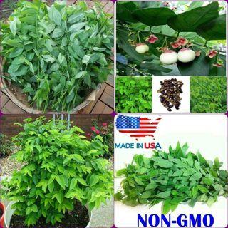 30 Seeds Katuk Seeds Sweet leaf Sauropus Androgynus Seeds
