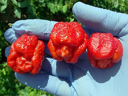 50 Trinidad Scorpion Pepper Seeds BUTCH Worlds Hottest Chilli