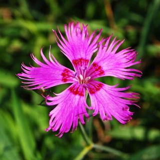 Lilac Pink Seed 50 Seeds Dianthus Superbus Fringed Pink Scent Herbal Flower