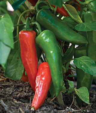 12 plus Anaheim Chili Pepper seed...