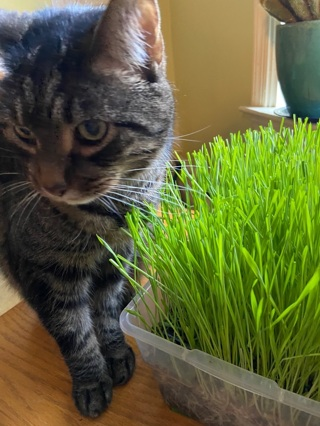 100 Organic wheatgrass cat grass seeds — 200+ with GiN!