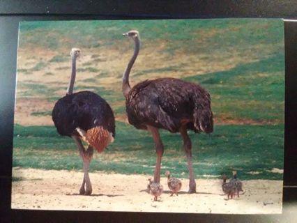 1993 Cardz Animals of the Wild: Ostrich Card #36