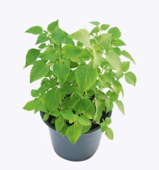 200 Seeds Elsholtzia Cristata Seeds Crested Latesummer Mint Vietnamese Mint Balm Kinh gioi