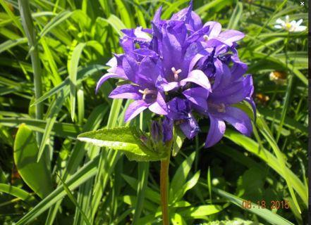 Campanula glomerata (LIVE PLANTS) - Pretty PURPLE Spike like flowers