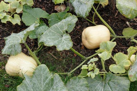 Butternut Squash! 10+ Seeds