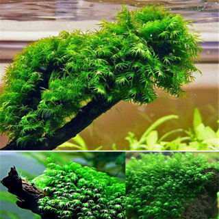 500pcs Dwarf Pearl Moss Seeds Plants Garden Bonsai Aquarium Decorations