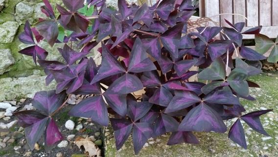 "OXALIS Purple Shamrocks - 3 ""Corns/Bulbs"""