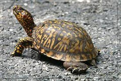 Box Turtle Shell Problems