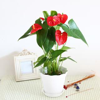 Rare!! Mix 100pcs/Bag Anthurium Andraeanu Seeds, Flower Seeds