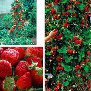 300pcs Red Strawberry Seeds Climbing Home Garden Fruit Plant