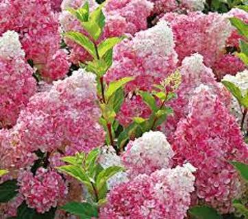 5 Vanilla Strawberry Hydrangea seed....