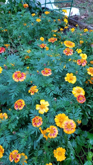 Mixed Marigold Seeds